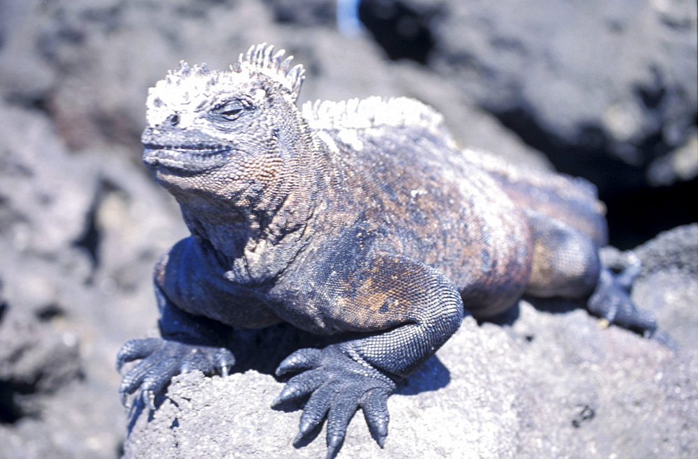 Ecuador, Galapagos Archipelago, Cruise On Board Of Ms Santa Cruz, Isabella Island, Urbina Bay