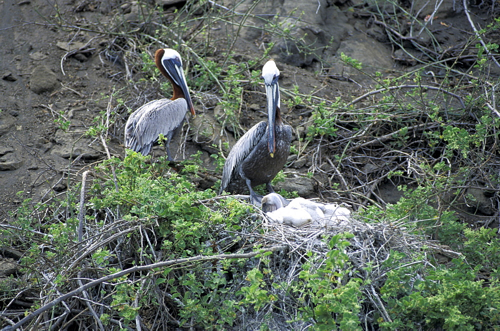 Ecuador, Galapagos Archipelago, Cruise On Board Of Ms Santa Cruz, Isabella Island, Tagus Cove,