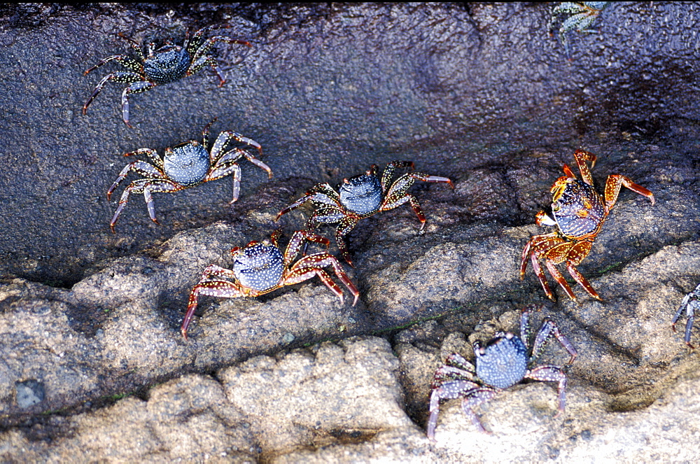 Ecuador, Galapagos Archipelago, Cruise On Board Of Ms Santa Cruz, Fernandina Island, Punta Espinoza, Zayapas Crabs On Lava Rocks At Seaside