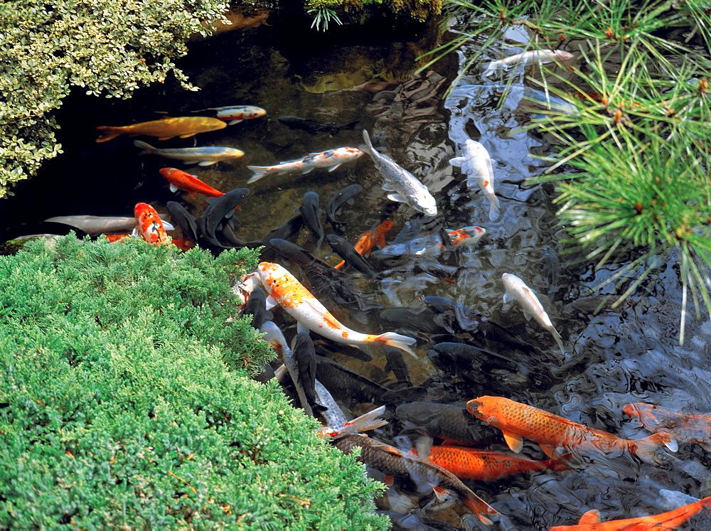 Pond with goldfish, Tokyo, Japan, Asia