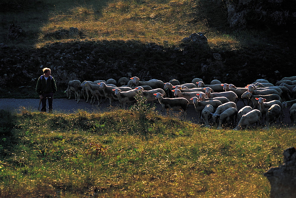 France, Aveyron, Roquefort Area, Les Rives, Herd Of Sheep