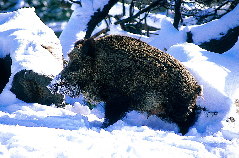 Sweden In Winter, Wild Boar In Fresh Snow