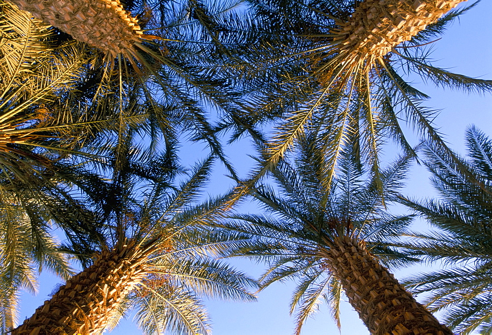 Date palms, Gilat, Israel, Middle East