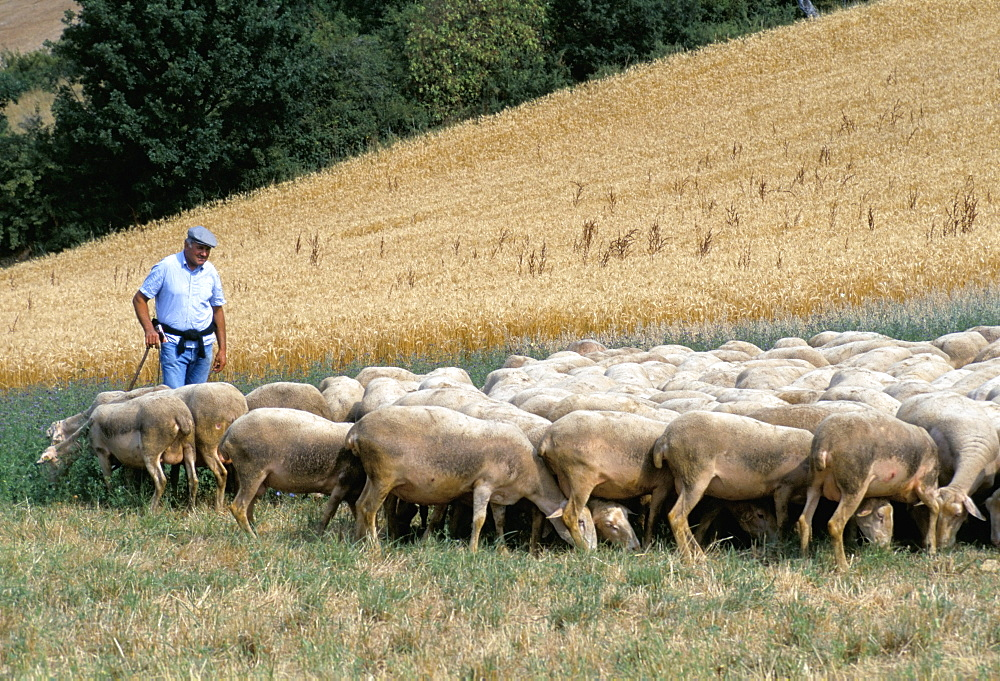 Monsieur Fortes and his ewes, Aveyron, France, Europe
