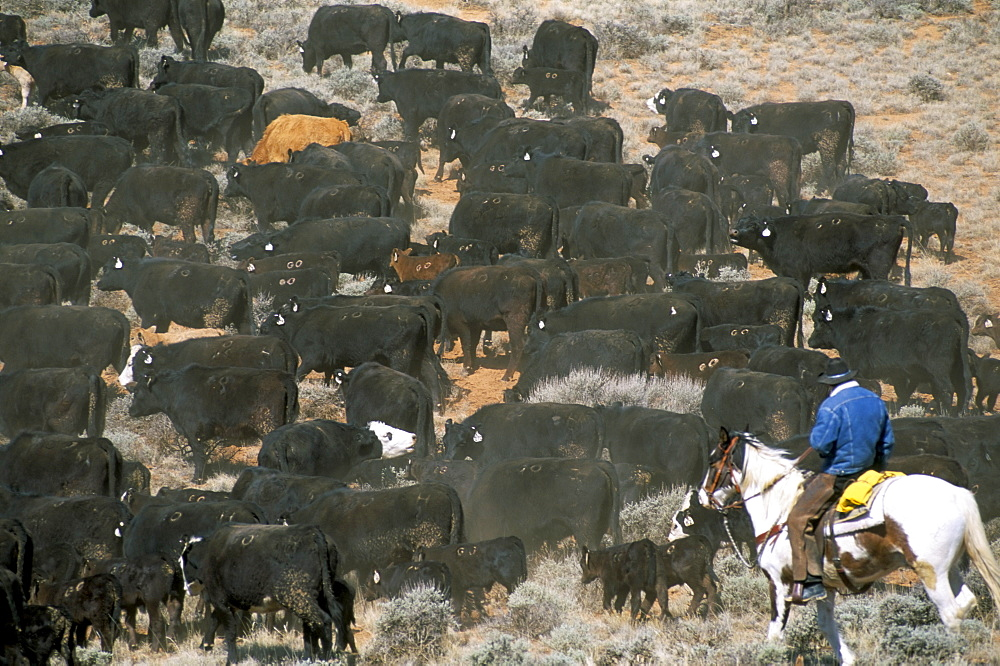 Aerial view of cattle drive, Wyoming, United States of America, North America - 700-9858