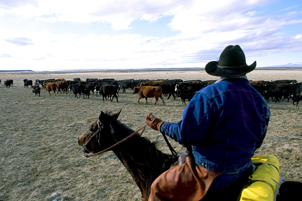 Cattle drive, Flitner Ranch, Wyoming, United States of America, North America - 700-9862