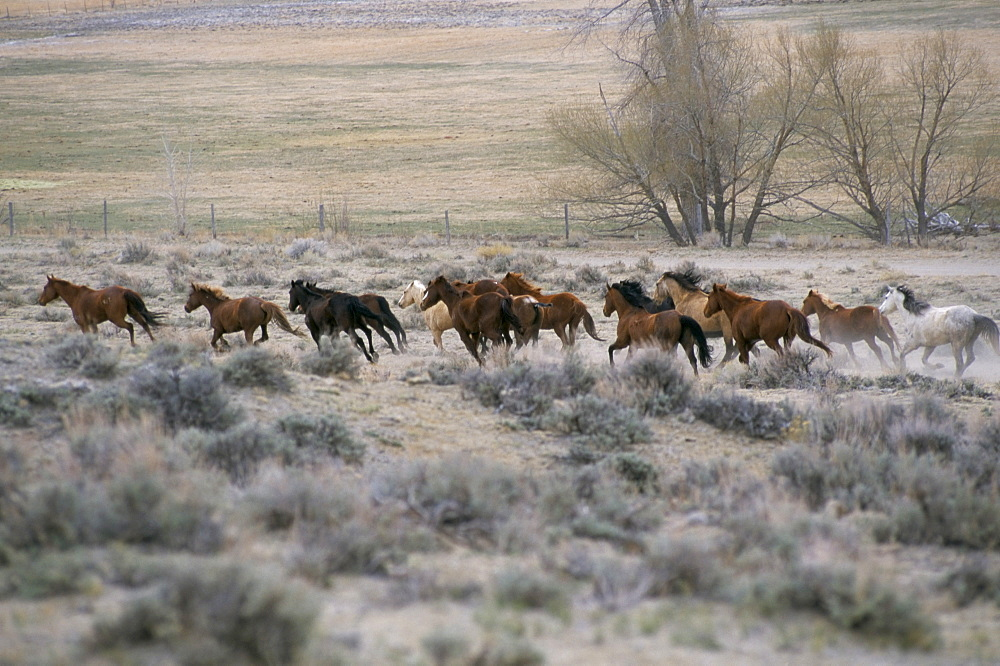 Horses, Mantles' Ranch, Wyoming, United States of America, North America - 700-9864