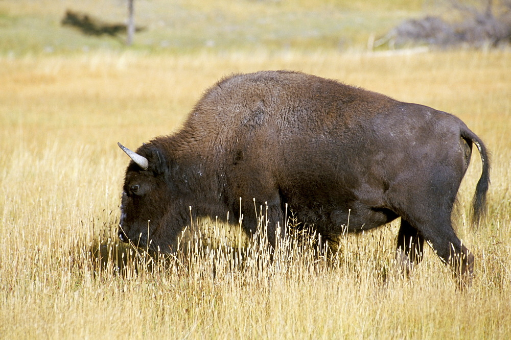 Buffalo, Yellowstone National Park, UNESCO World Heritage Site, Wyoming, United States of America, North America - 700-9867