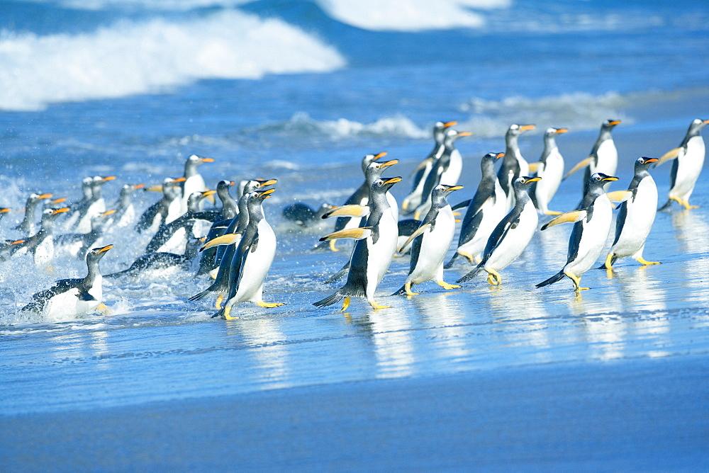 Gentoo penguins (Pygocelis papua papua) getting out of the water, Sea Lion Island, Falkland Islands, South Atlantic, South America