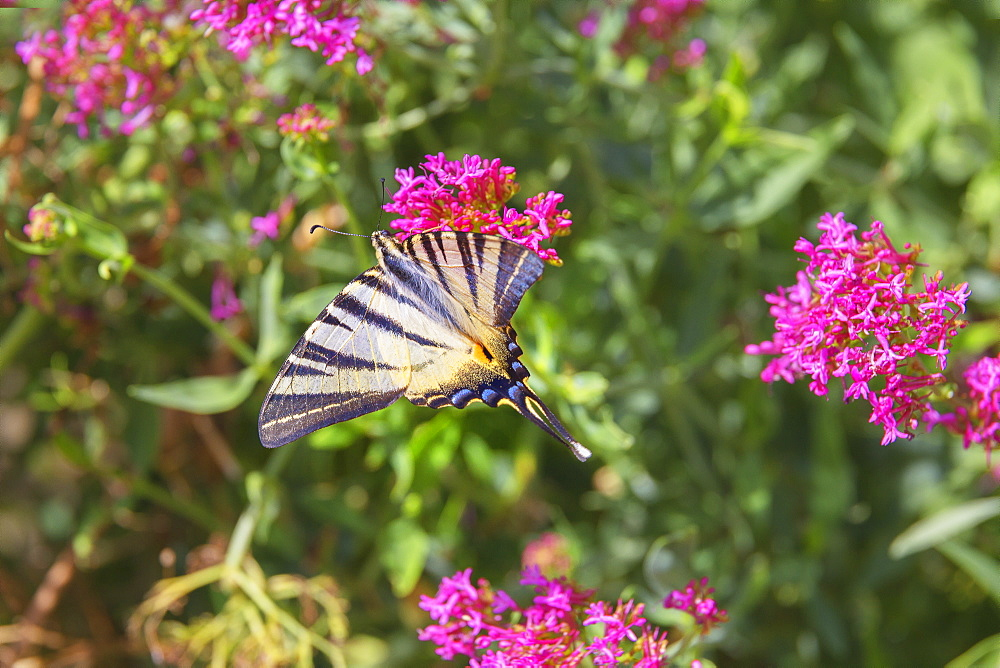 Scarce swallowtail butterfly (Iphiclides podalirius) flying over flowers, Vernazza, Cinque Terre, Liguria, Italy, Europe - 718-2228
