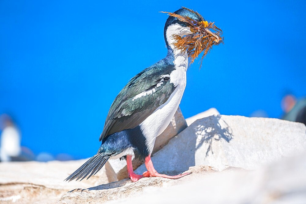 Imperial shag (Leucocarbo atriceps) carrying nesting material, Sea Lion Island, Falkland Islands, South America - 718-2581