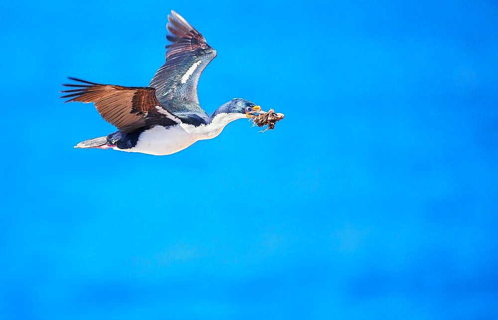 Imperial shag (Leucocarbo atriceps) in flight carrying nesting material, Sea Lion Island, Falkland Islands, South America - 718-2583