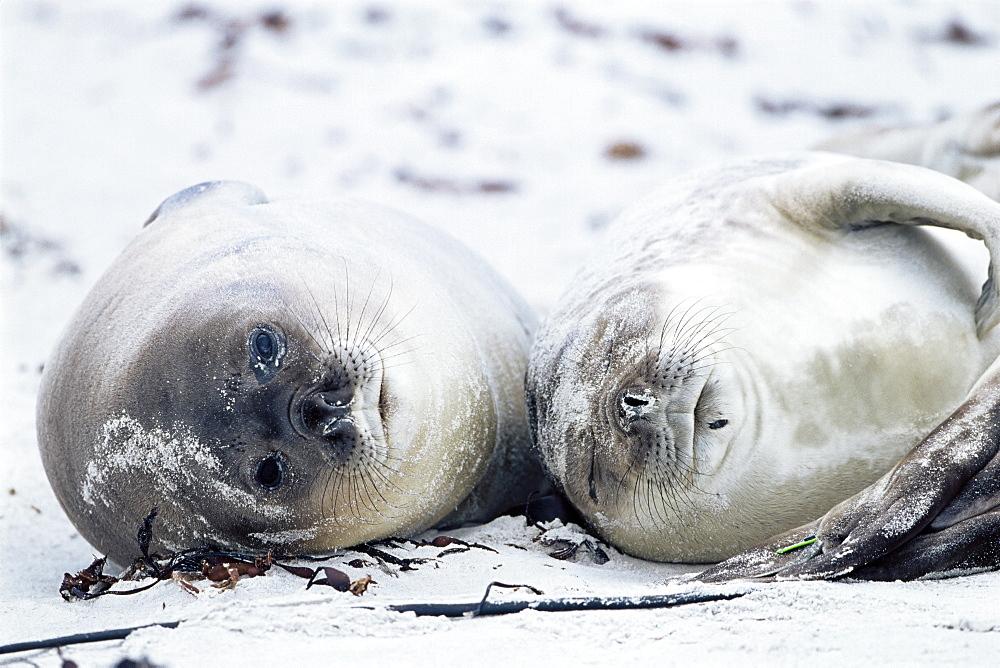Elephant seals on a beach, Saunders Island, Falkland Islands, South Atlantic, South America