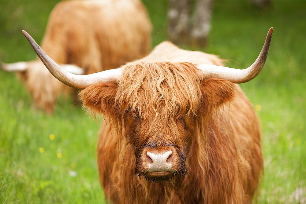 Highland cattle, Scotland, United Kingdom, Europe - 728-5872
