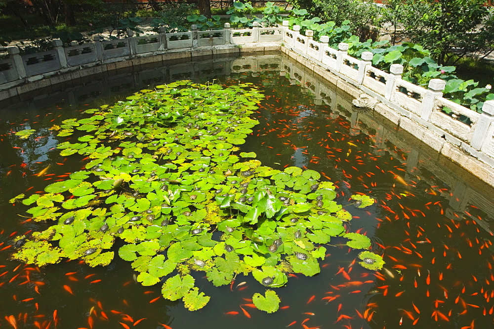 Koi Carp pond in Wofo Si Temple of the Reclining Buddha, inside Beijing Botanical Gardens, Beijing, China, Asia