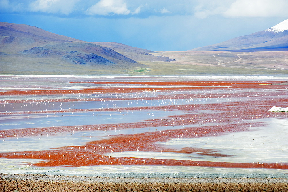 James Flamingo (Phoenicoparrus jamesi), at Laguna Colorado (Red Lake), Eduardo Avaroa Andean National Reserve, Bolivia, South America - 733-5263