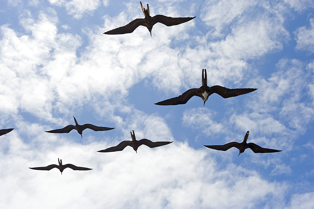 Great frigate bird (Frigata minor) flying in formation, Galapagos Islands, UNESCO World Heritage Site, Ecuador, South America