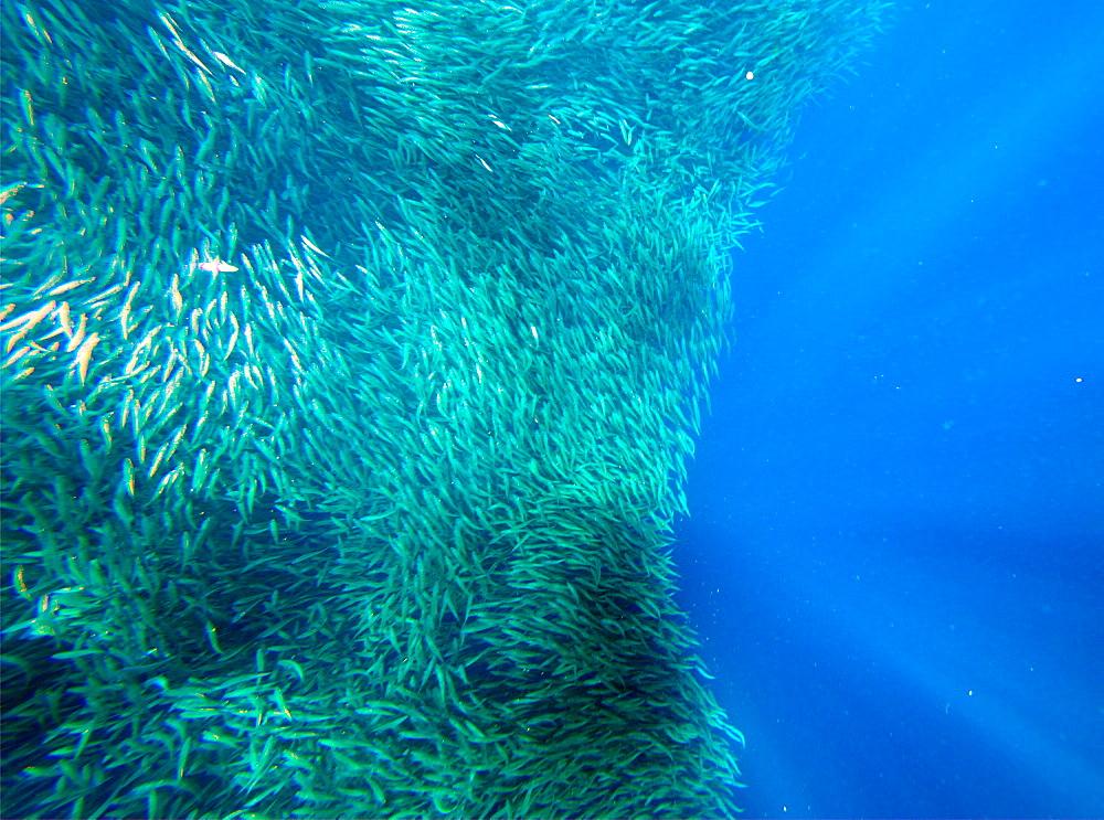 Shoal of sardines, Panagsama Beach, Moalboal, Cebu, The Visayas, Philippines, Southeast Asia, Asia