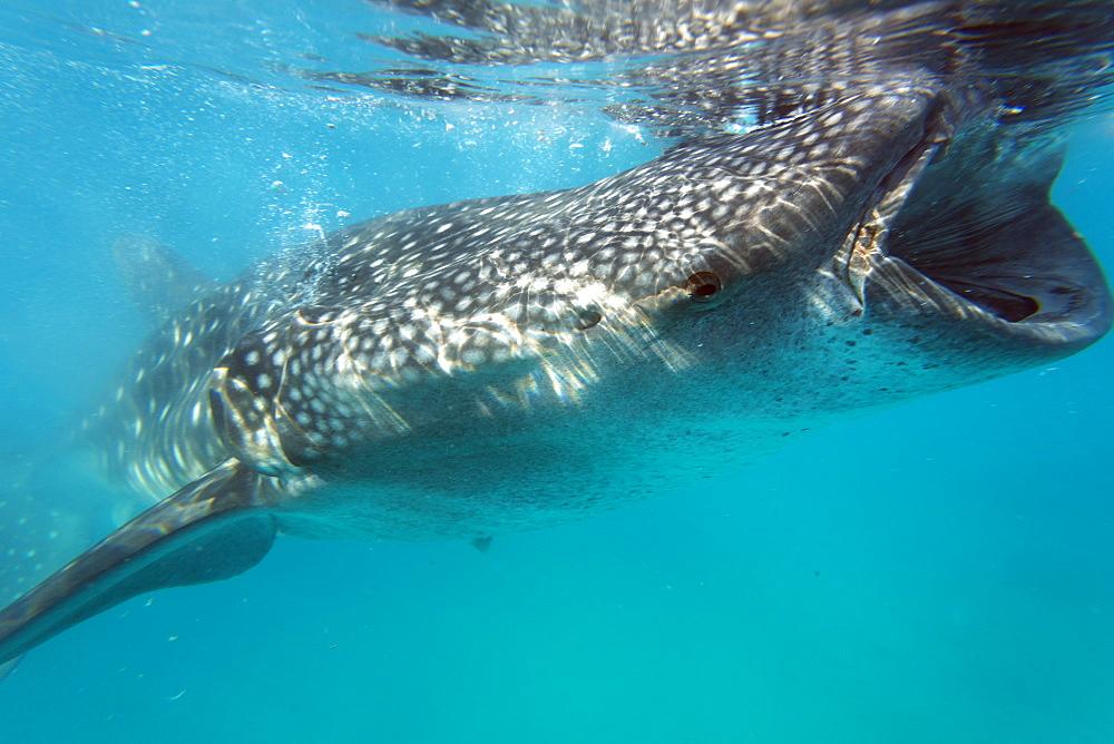 Whale shark (Rhincodon typus), Oslob, Cebu, The Visayas, Philippines, Southeast Asia, Asia