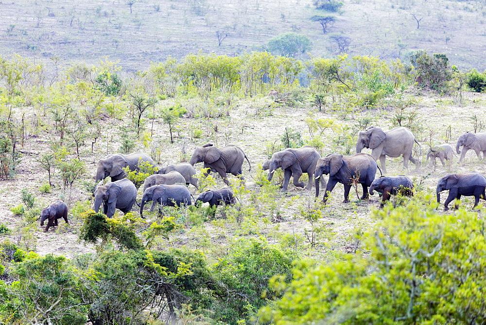African elephant herd, (oxodonta Africana), Hluhluwe-Imfolozi Park, Kwazulu-Natal, South Africa, Africa