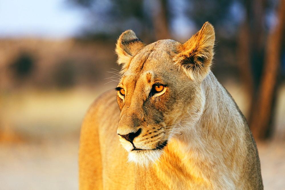 Lioness (Panthera leo), Kgalagadi Transfrontier Park, Kalahari, Northern Cape, South Africa, Africa