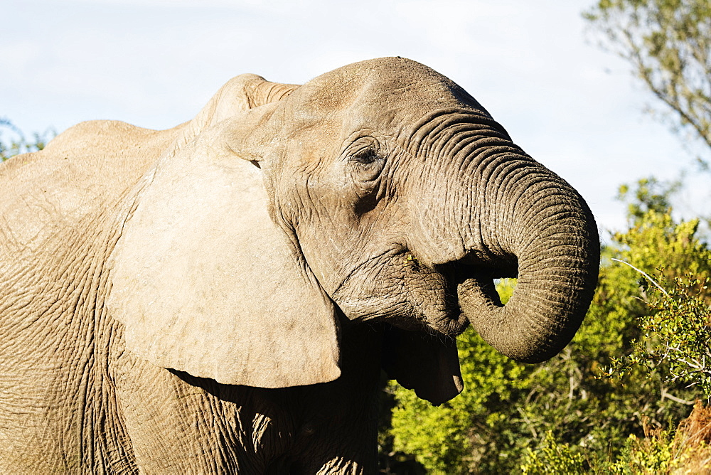 African elephant (Loxodonta Africana), Addo Elephant National Park, Eastern Cape, South Africa, Africa
