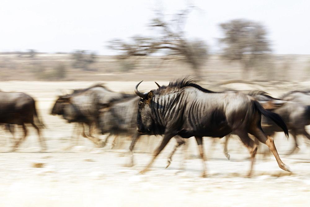 Blue wildebeest (Connochaetes taurinus), Kgalagadi Transfrontier Park, Kalahari, Northern Cape, South Africa, Africa