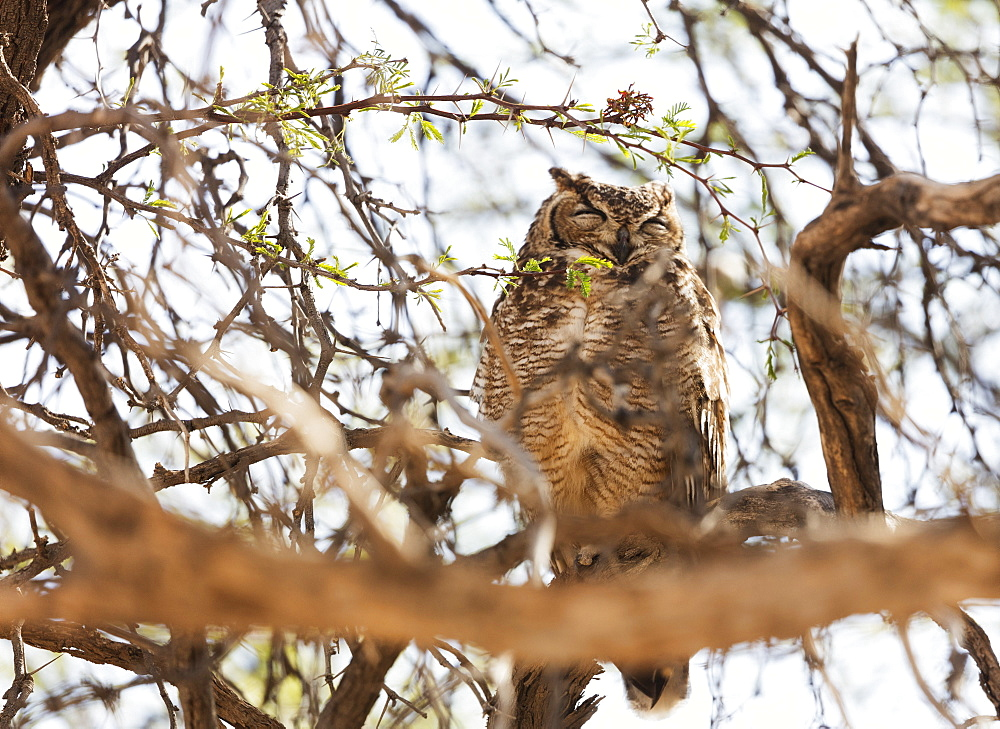 Spotted eagle owl (Bubo africanus), Kgalagadi Transfrontier Park, Kalahari, Northern Cape, South Africa, Africa