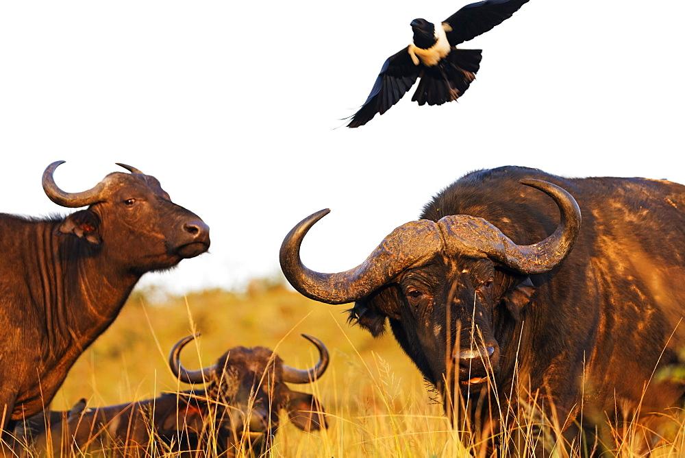 Magpie (Urolestes) and Buffalo (Syncerus caffer), Hluhluwe-Imfolozi Park, Kwazulu-Natal, South Africa, Africa