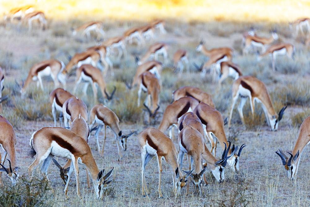 Springbok (Antidorcas marsupialis), Kgalagadi Transfrontier Park, Kalahari, Northern Cape, South Africa, Africa