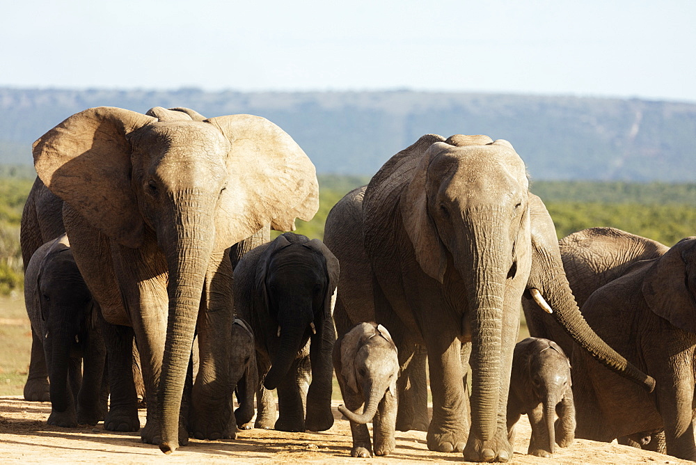 African elephant herd (Loxodonta Africana), Addo Elephant National Park, Eastern Cape, South Africa, Africa