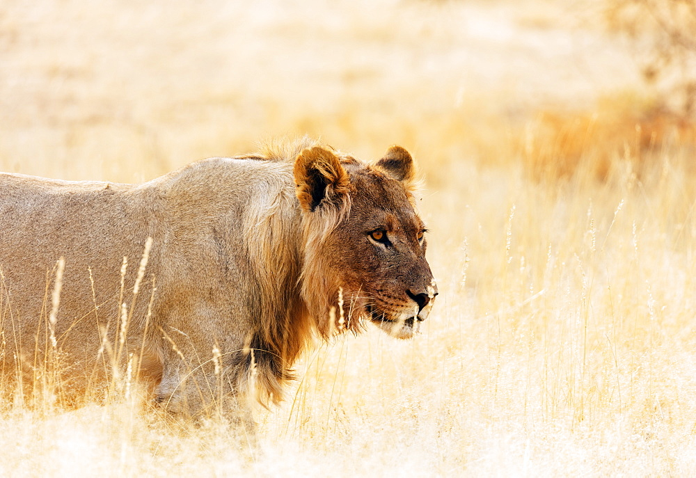 Young lion (Panthera leo), Kgalagadi Transfrontier Park, Kalahari, Northern Cape, South Africa, Africa