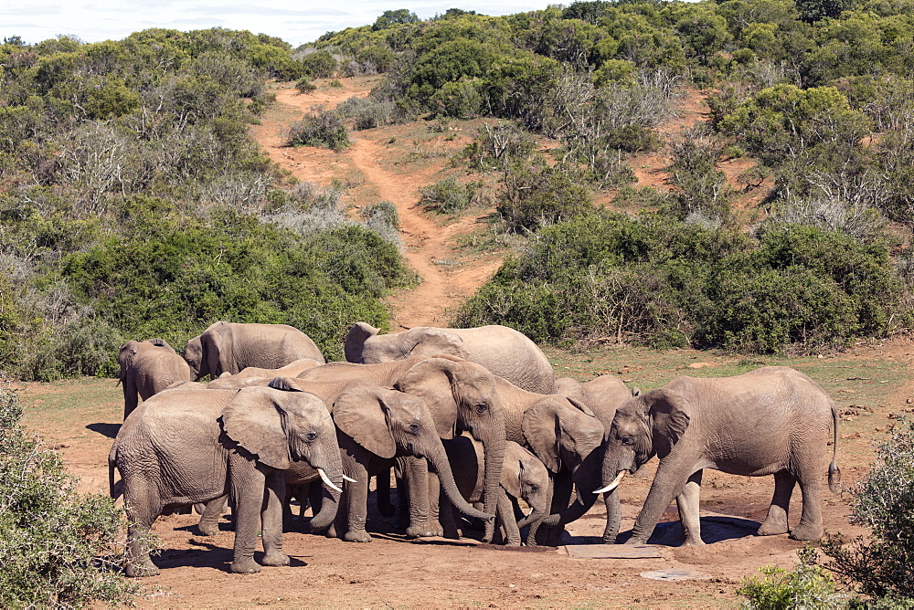 African elephant (Loxodonta Africana) herd at a waterhole, Addo Elephant National Park, Eastern Cape, South Africa, Africa