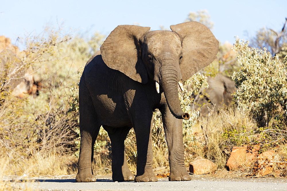 African elephant (Loxodonta Africana), Mapungubwe National Park, UNESCO World Heritage Site, Limpopo, South Africa, Africa