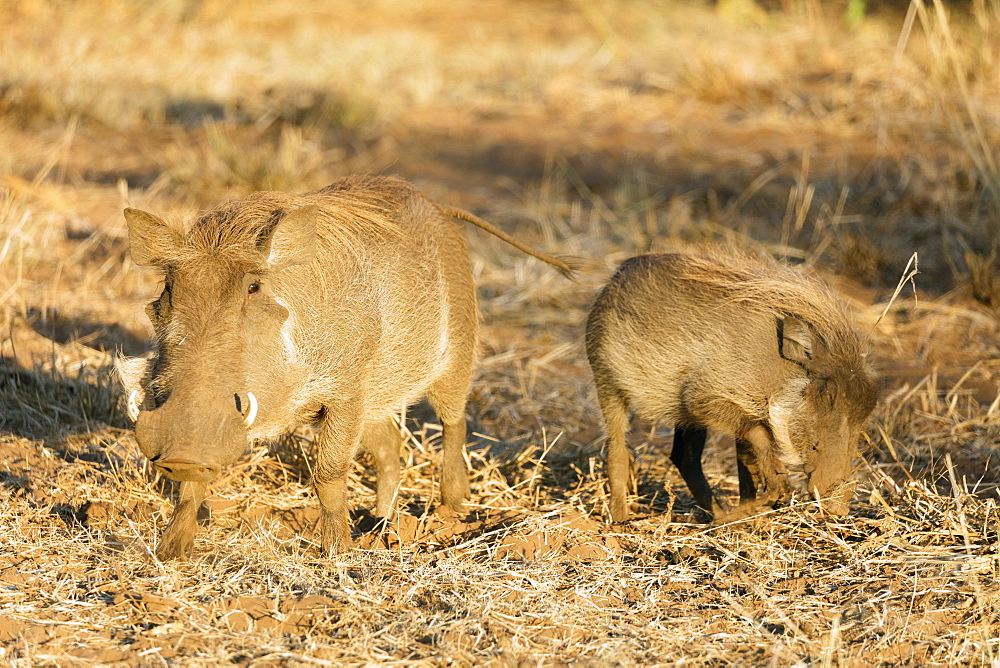 Common warthog (Phacochoerus africanus), Kruger National Park, South Africa, Africa