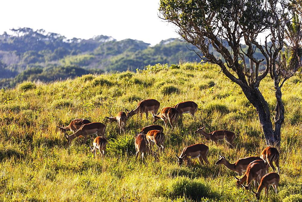Impala (Aepyceros melampus), Isimangaliso Greater St. Lucia Wetland Park, UNESCO World Heritage Site, Kwazulu-Natal, South Africa, Africa