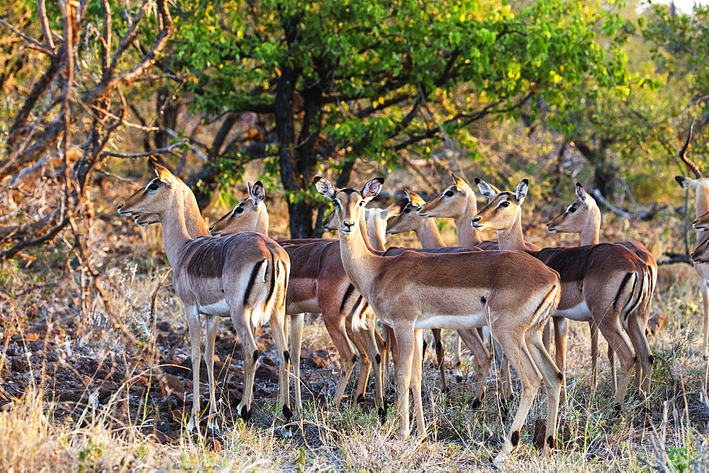 Impala (Aepyceros melampus), Kruger National Park, South Africa, Africa