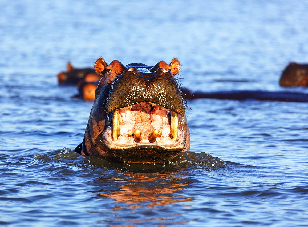 Yawning hippo (Hippopotamus amphibius), Isimangaliso Greater St. Lucia Wetland Park, UNESCO World Heritage Site, Kwazulu-Natal, South Africa, Africa