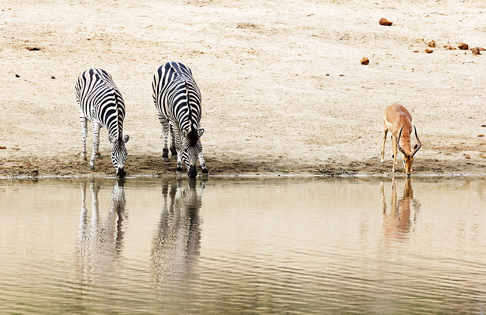 Burchell's Plains zebra (Equus quagga) drinking, Kruger National Park, South Africa, Africa