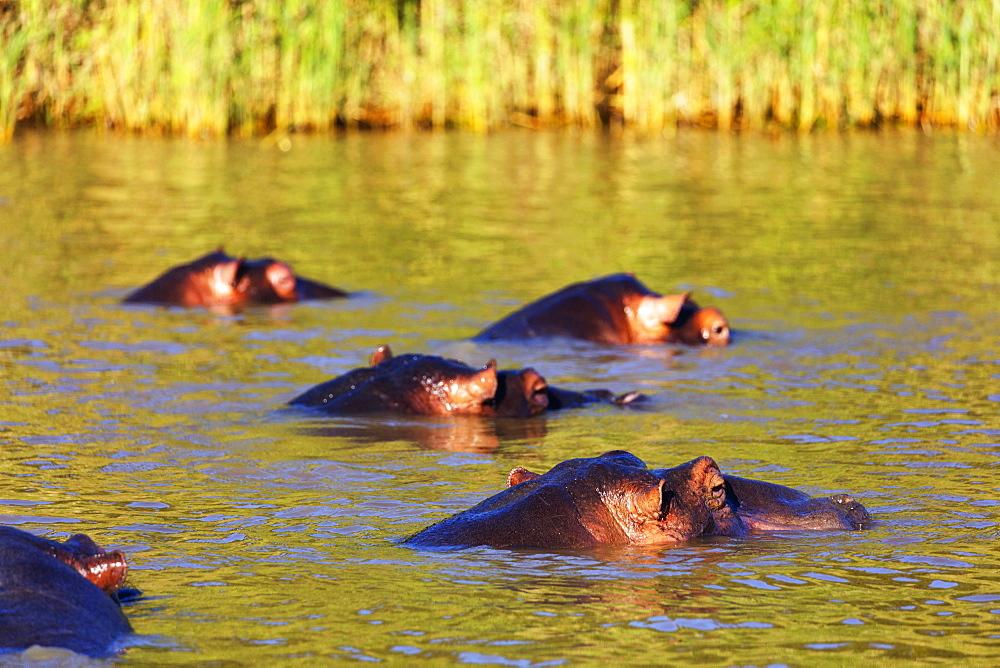 Hippo (Hippopotamus amphibius), Isimangaliso Greater St. Lucia Wetland Park, UNESCO World Heritage Site, Kwazulu-Natal, South Africa, Africa
