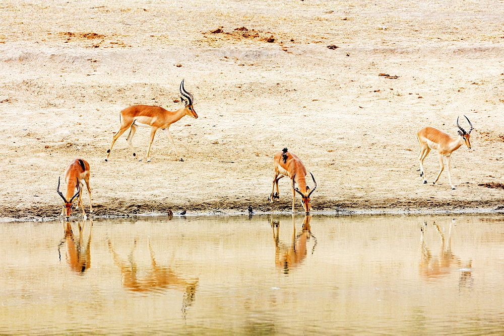 Impala (Aepyceros melampus) at a water hole, Kruger National Park, South Africa, Africa