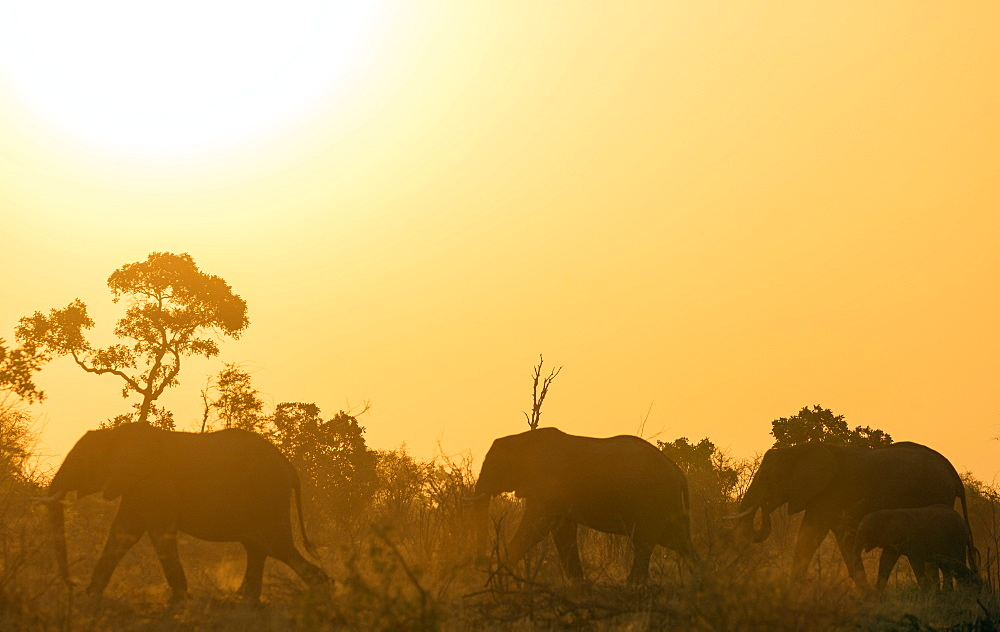 African elephant (Loxodonta Africana) at sunset, Kruger National Park, South Africa, Africa