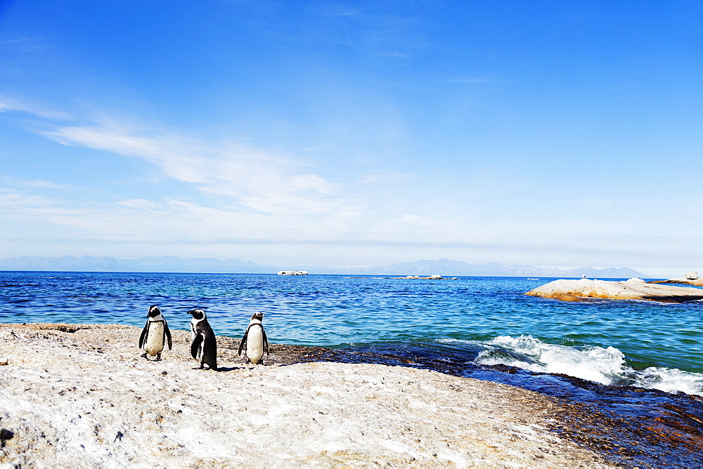 Penguins (Spheniscus demersus), Boulders Beach, Cape Town, Western Cape, South Africa, Africa