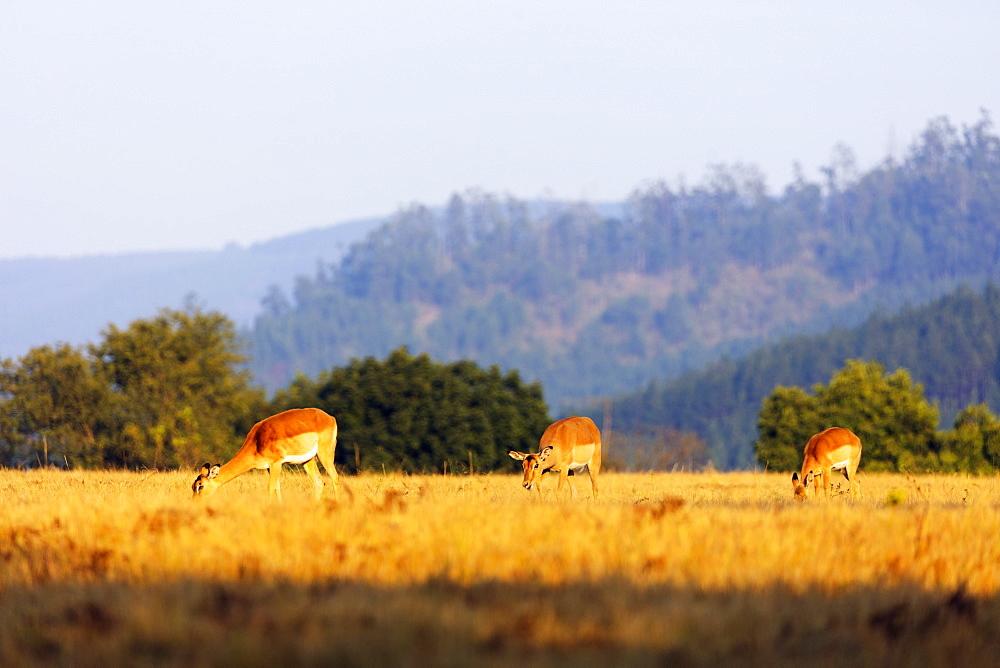 Female impala (Aepyceros melampus), Mlilwane Wildlife Sanctuary, Swaziland, Africa