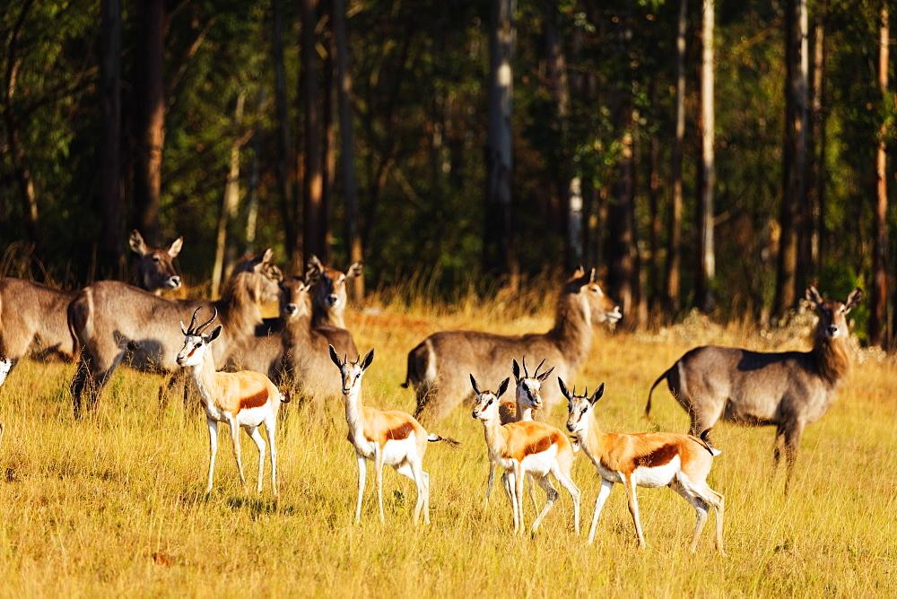 Springbok (Antidorcas marsupialis), Mlilwane Wildlife Sanctuary, Swaziland, Africa