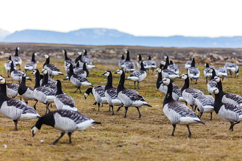 The Arctic, Europe, Norway, Svalbard, Spitzbergen, Barnacle goose, Branta leucopsis