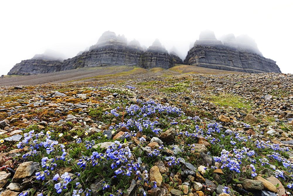 The Arctic, Europe, Norway, Svalbard, Spitsbergen, Skansen in Billefjorden, Jacob's ladder flower (Polemonium caeruleum)