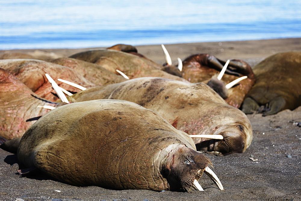 The Arctic, Europe, Norway, Svalbard, Spitsbergen, Kapp Lee, Walrus (Odobenus rosmarus)