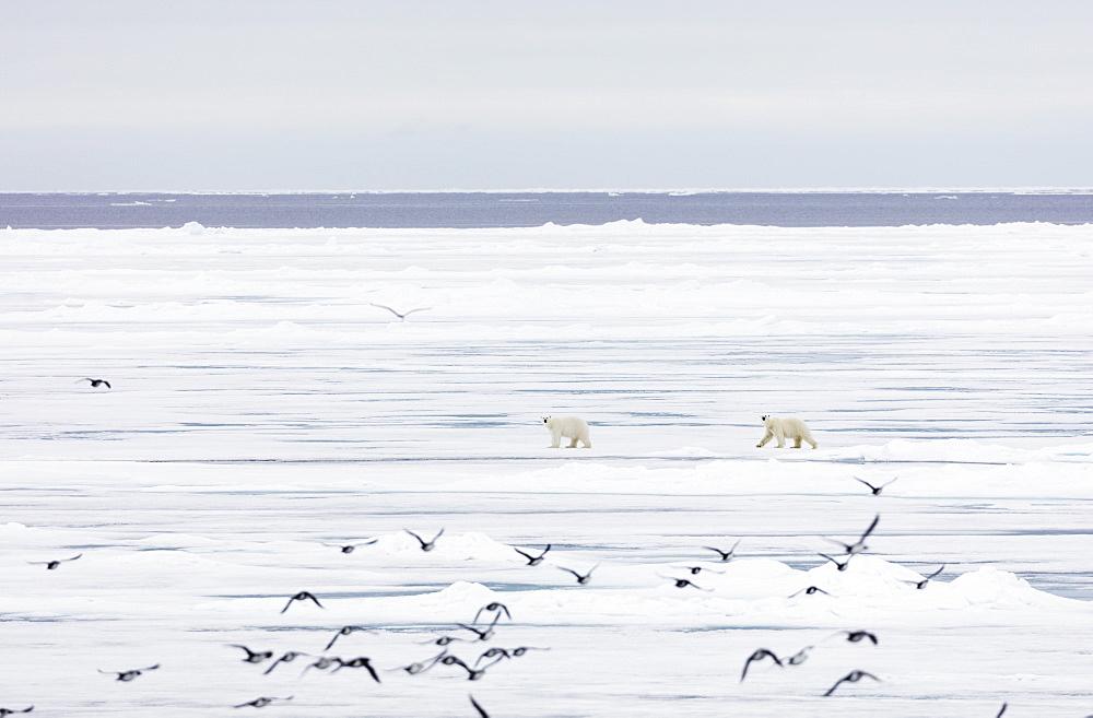 Polar bear (Ursus maritimus), Spitsbergen, Svalbard, Arctic, Norway, Europe