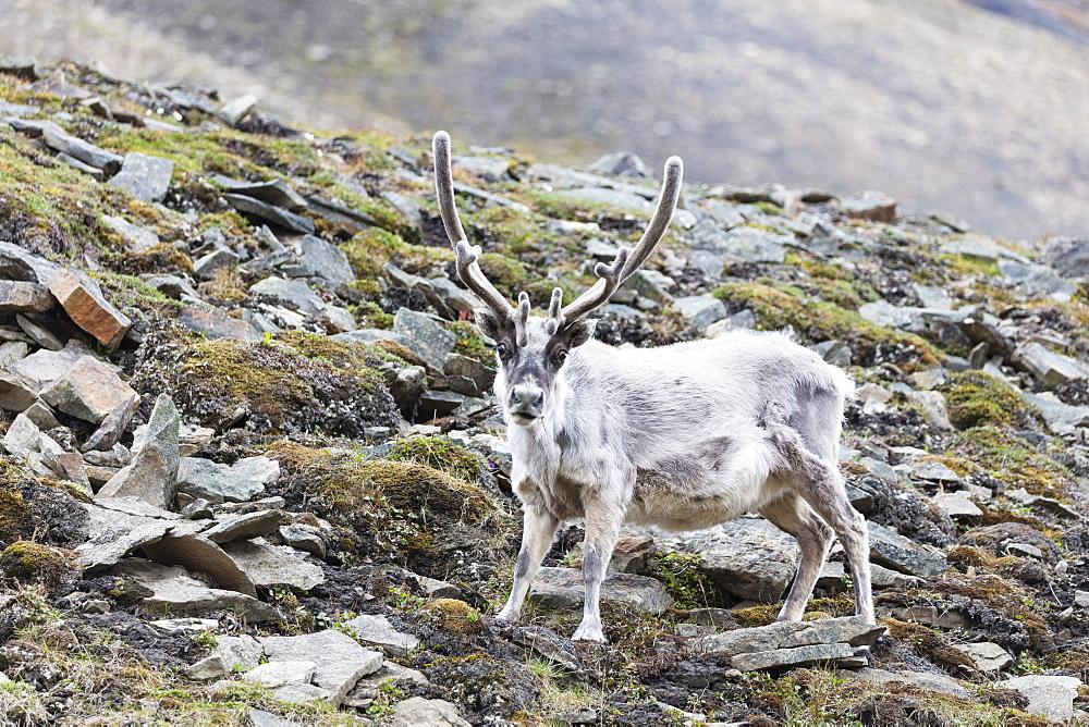 The Arctic, Europe, Norway, Svalbard, Spitsbergen, Reindeer (Rangifer tarandus)